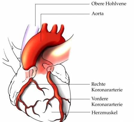 Die Anatomie des Herzens | Ellviva