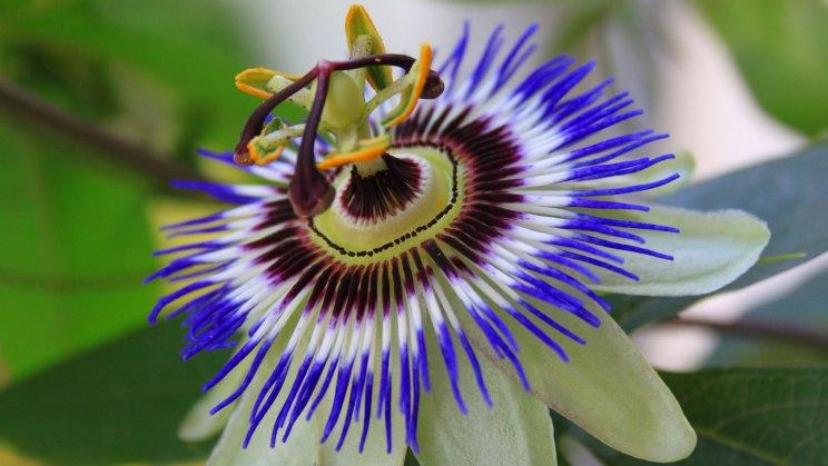 Die Passionsblume wirkt gegen Nervosität und Unruhe