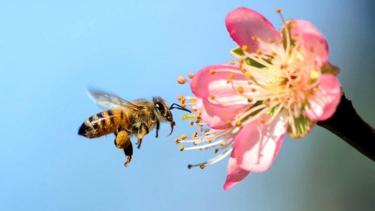 Honigbiene an Blüte: Die Honigbiene selbst hiflt in der BHomöopathie bei Insektenstichen
