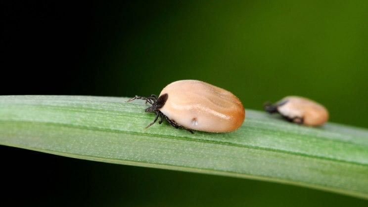 Zwei Zecken auf Blatt: Zecken tummeln sich auch in den Vorgärten
