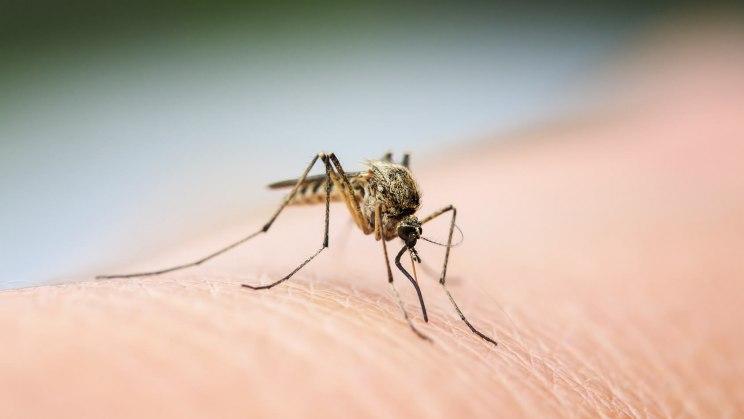 Eine Mücke hat sich eine Hautstelle zum Stechen gesucht und trinkt unbemerkt ihre Blutmahlzeit. Jetzt gilt es, den Mückenstich zu behandeln.