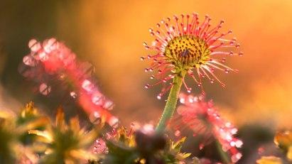 Pflanze Sonnentau: Drosera rotundifolia als homöopathisches Mittel gegen Asthma