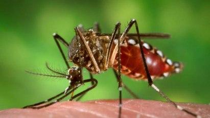 Übertrager des Zika-Virus: Aedes-Mücke bei der Blutmahlzeit