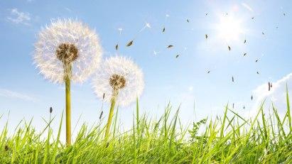 Pusteblumen im Feld: Bei Heuschnupfen reagieren Betroffenen allergisch auf Pollen