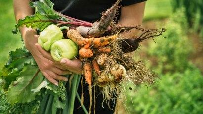 Frische Möhren und Kohlrabi – das Ergebnis, wenn man seinen eigenen Gemüsegarten anbaut.