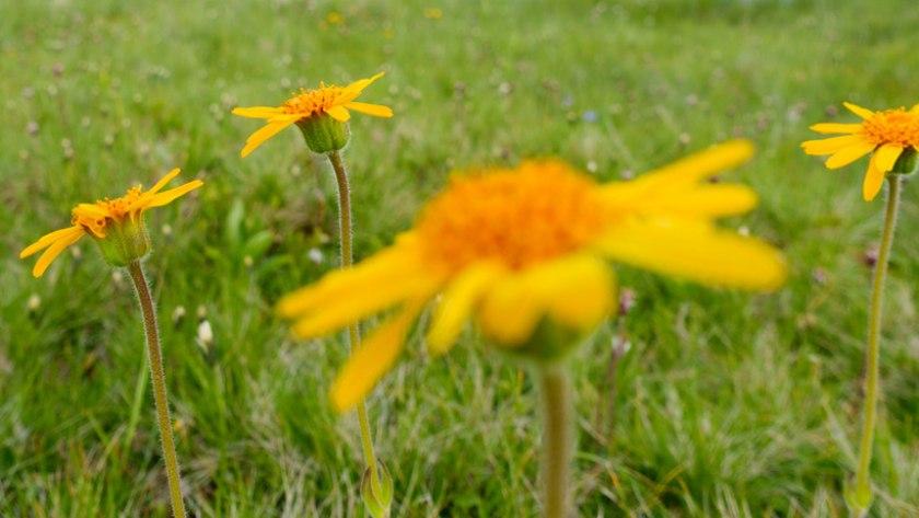Arnica montana - homöopathische Hilfe bei Rückenschmerzen
